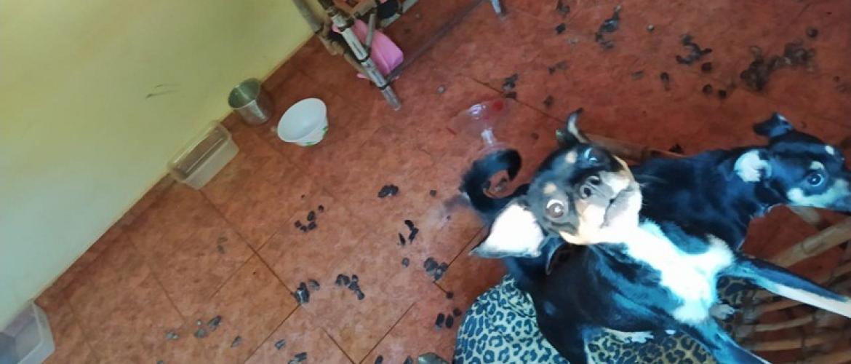 Dois Cães são Resgatados em Uraí em Maus Tratos