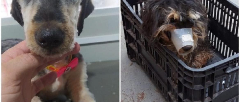 Cachorra é atendida pela ONG-SPA em situação de maus-tratos