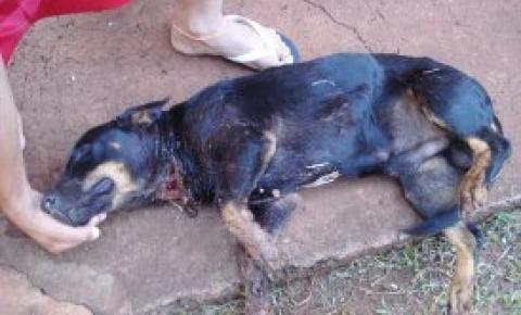 Cão é Gravemente Ferido em um Sítio de Cornélio Procópio e ONG de Uraí vem em Ajuda ao Animal