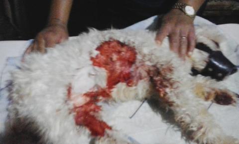 Cachorro com grave mordida no abdômen