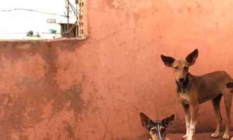 Cachorras são socorridas com erliquiose severa